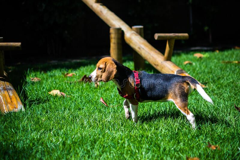 Beagle Puppy In Yard Free Public Domain Cc0 Image