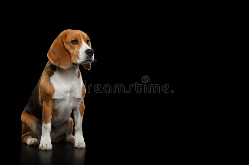 Beagle Purebred Dog Isolated on Black Background. Purebred Beagle Dog Sitting and Looking at side Isolated on Black Background, profile view stock image