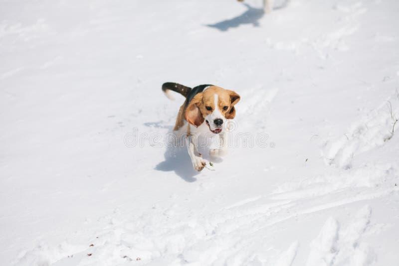 Beagle que corre en nieve imágenes de archivo libres de regalías