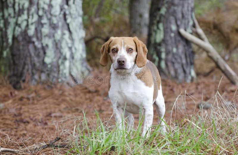 Beagle rabbit hunting dog, Georgia. Male not neutered male tan and white Beagle hound dog with floppy ears, panting tongue. Photographed for Walton County Animal royalty free stock image