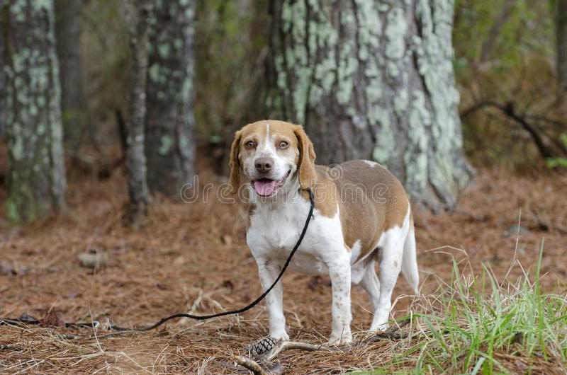 Beagle rabbit hunting dog, Georgia. Male not neutered male tan and white Beagle hound dog with floppy ears, panting tongue. Photographed for Walton County Animal royalty free stock photo