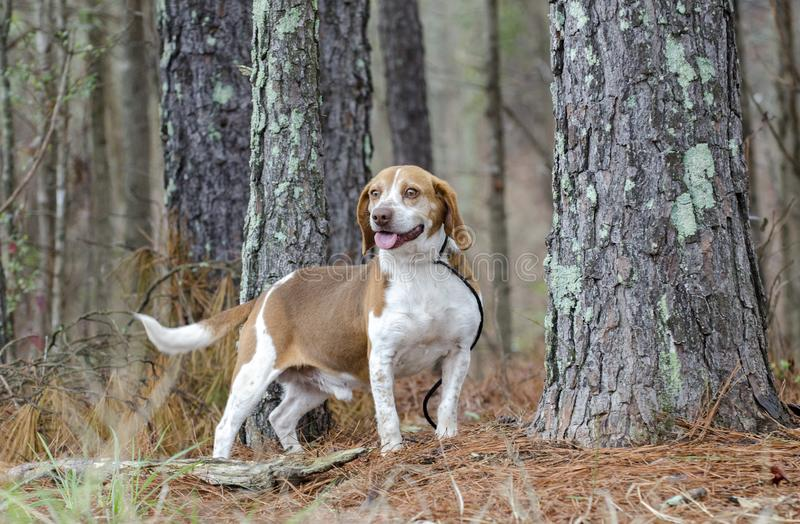 Beagle rabbit hunting dog, Georgia. Male not neutered male tan and white Beagle hound dog with floppy ears, panting tongue. Photographed for Walton County Animal stock photography