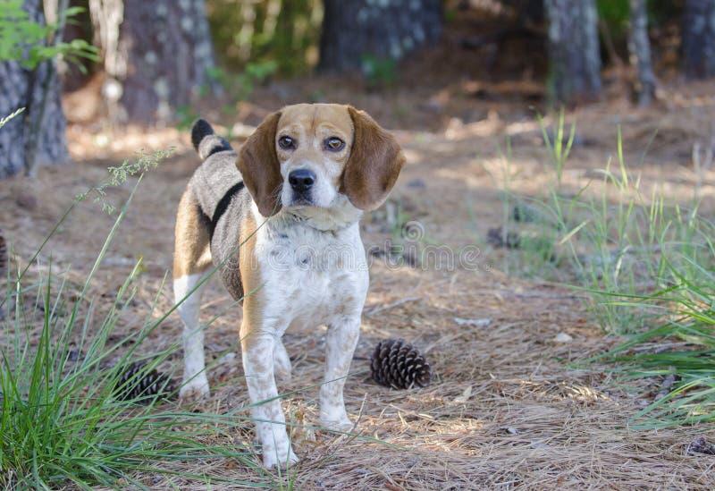 Beagle Rabbit Hunting dog. Tri-colored Beagle male raccoon rabbit tracking dog, floppy ears, outdoor adoption photo for Walton County Control Shelter, humane stock image