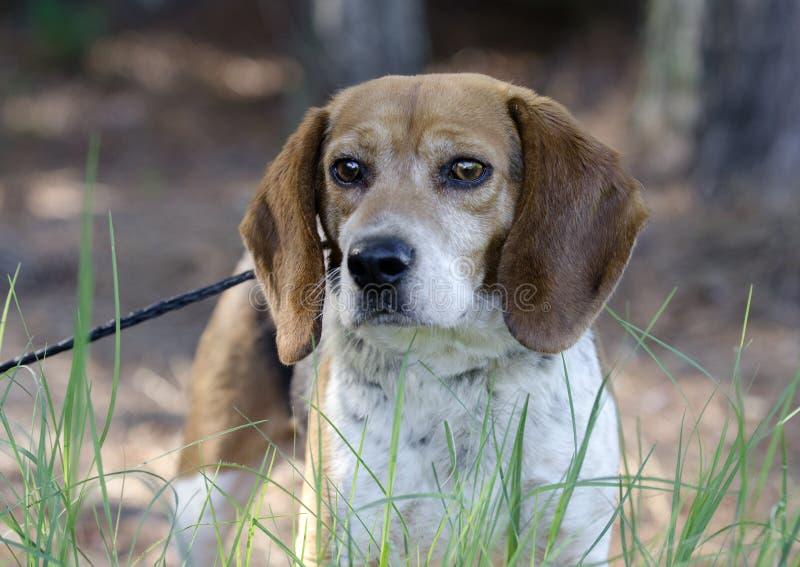 Beagle Rabbit Hunting dog royalty free stock images