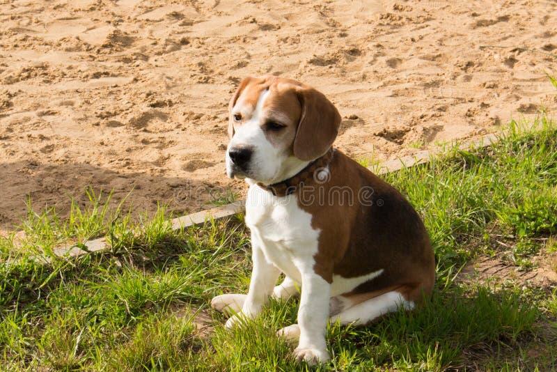 Beagle relaksuje po gier zdjęcia royalty free