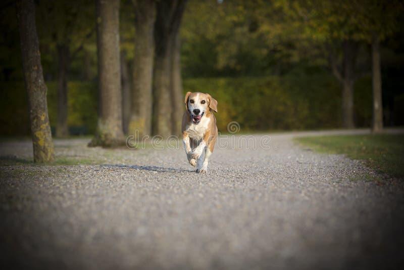 Beagle runs free royalty free stock image