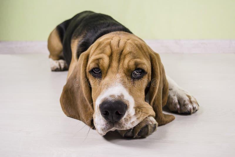 Beagle sad stock photos