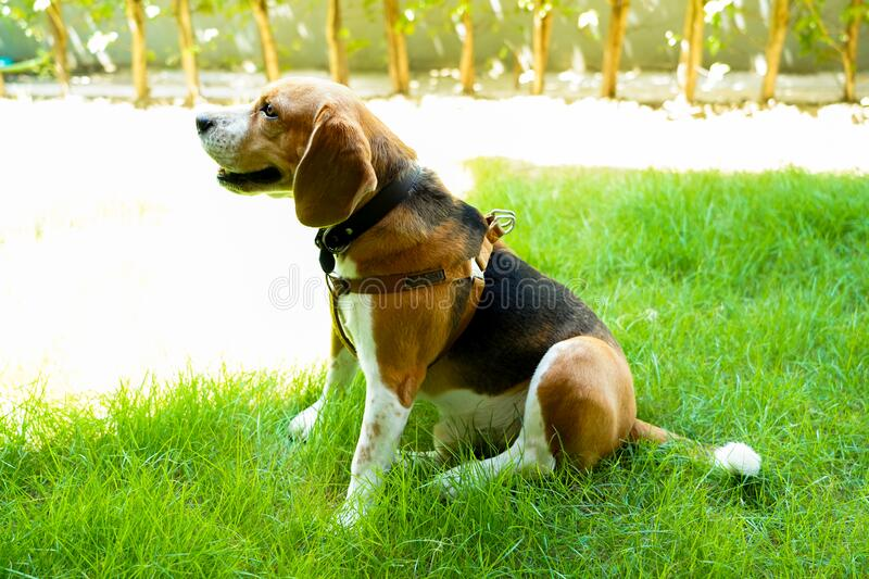 The beagle sit in the green grass.dog is chained in garden. Happy Dog relaxing in the park. The beagle sitting in the green grass.dog is chained in garden. Happy royalty free stock images