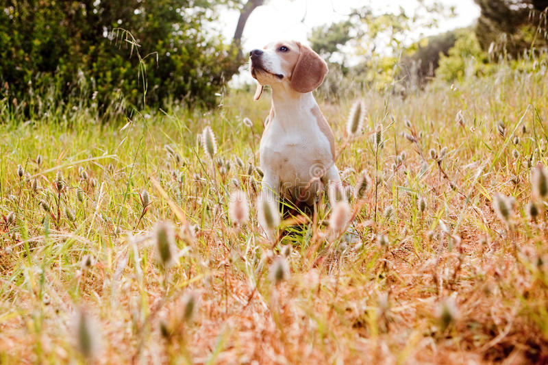 Beagle sitting. In the forest royalty free stock images
