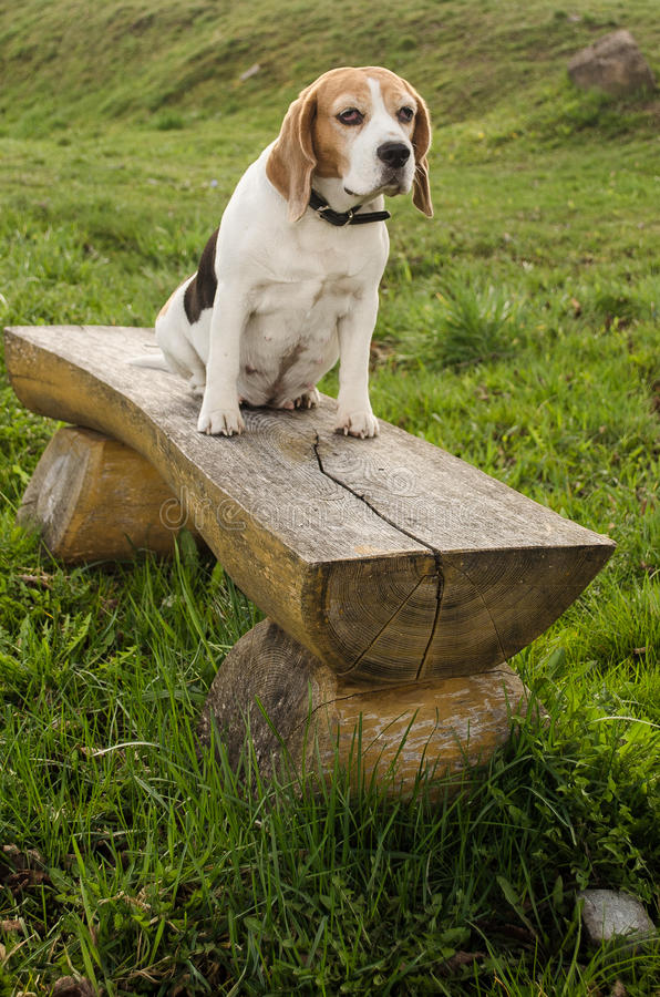 Beagle sitting on bench. Latvia royalty free stock photography