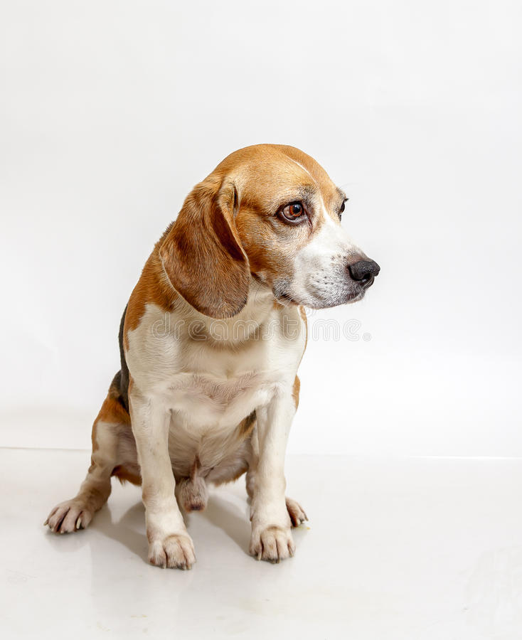 Beagle sitting stock photo