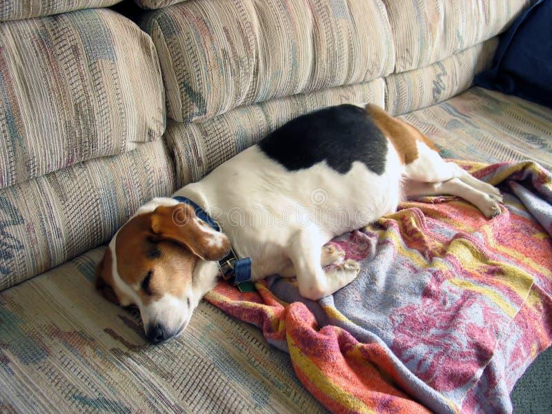 Beagle Snooze royalty free stock image