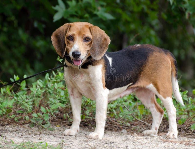 Beagle som är utomhus- på koppeln royaltyfri bild