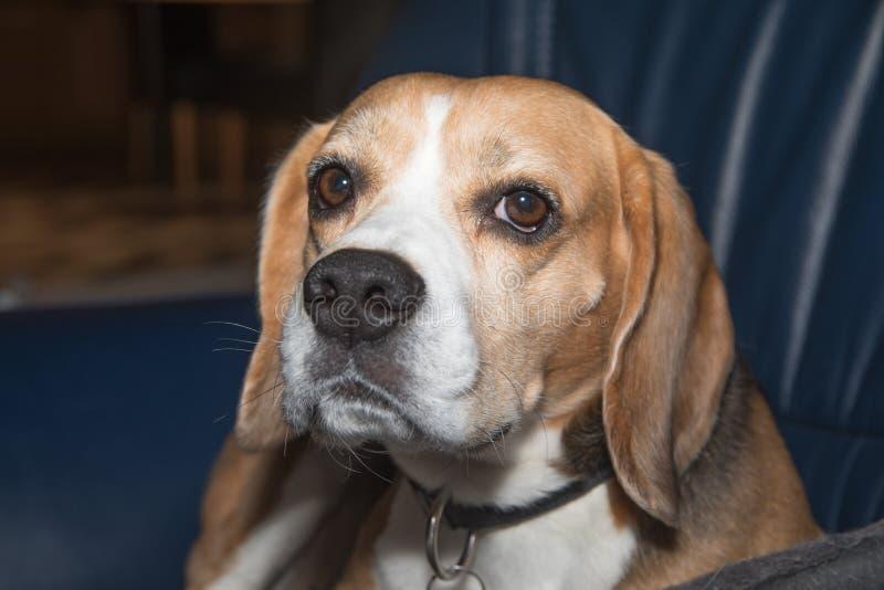 Beagle som ligger p? en soffa royaltyfria foton