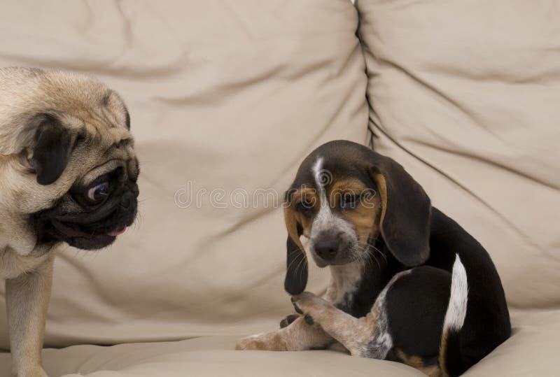 beagle som ser mopsvalpen fotografering för bildbyråer