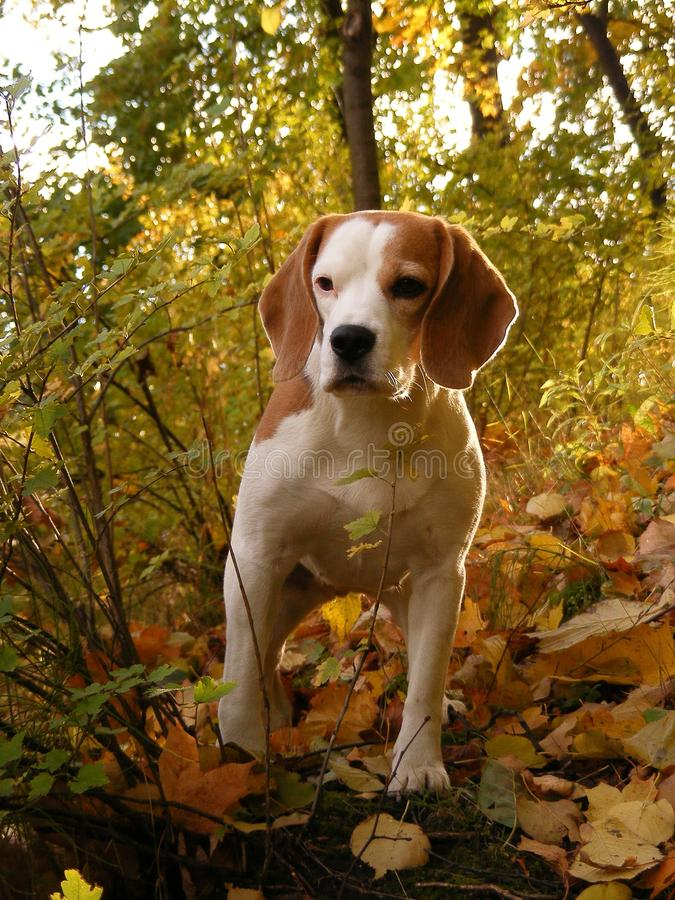 Download Beagle Standing In Autumn Forest Stock Image - Image: 19248571
