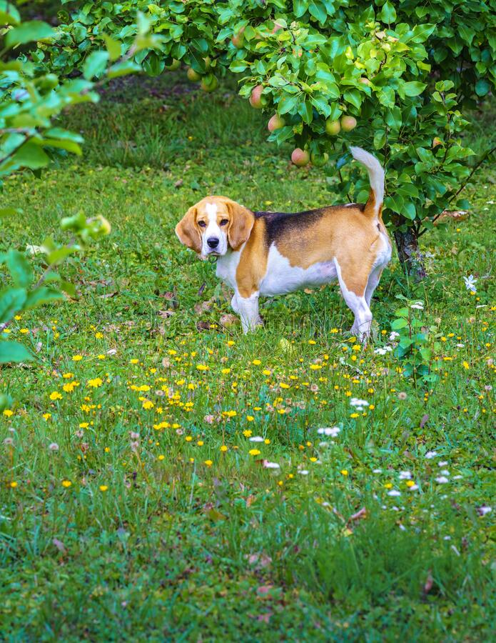 Beagle / Tail Highly Risen Stock Photo. Image Of
