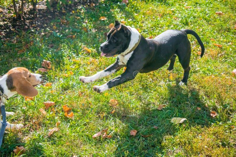 Beagle szczeniak bawić się z szczeniakiem Staffordshire Terrier w jesień parku zdjęcia royalty free