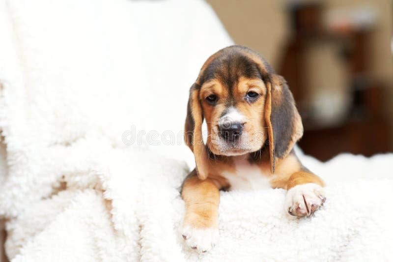 Beagle szczeniak w domu zdjęcia royalty free
