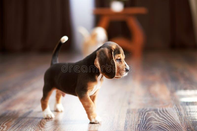 Beagle szczeniak w domu zdjęcie stock