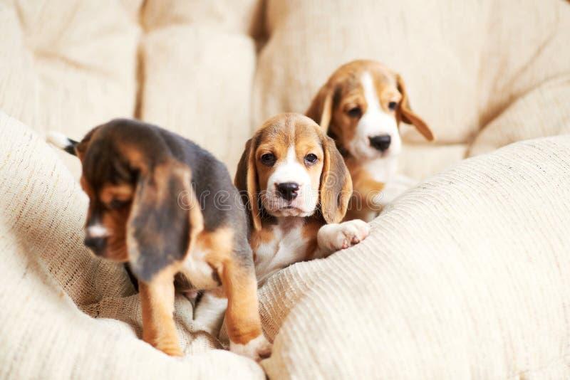 Beagle szczeniak w domu zdjęcia stock