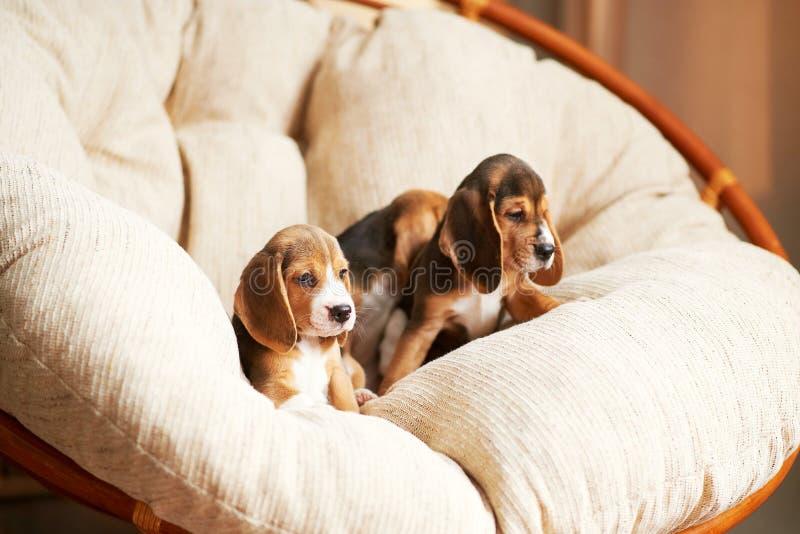 Beagle szczeniak w domu fotografia stock