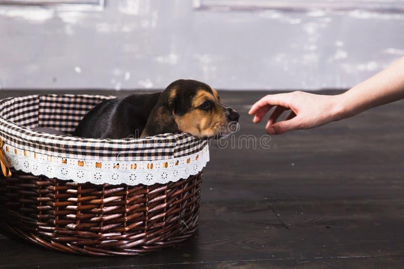 Beagle szczeniak w koszu obwąchuje rękę obrazy royalty free