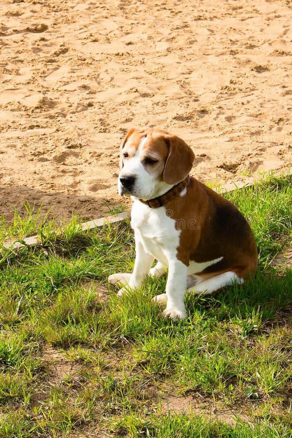 Beagle TJ relaksuje po zabaw gier fotografia royalty free