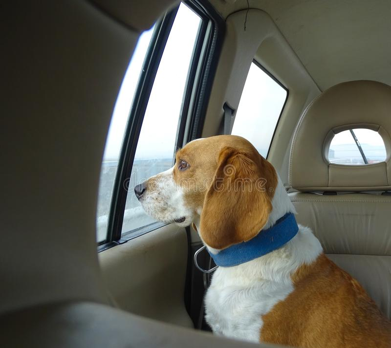 Beagle traveler. A dog riding in a car looking out carefully. A lovely pet royalty free stock photos