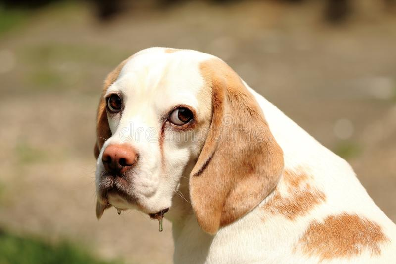 Beagle triste fotografía de archivo