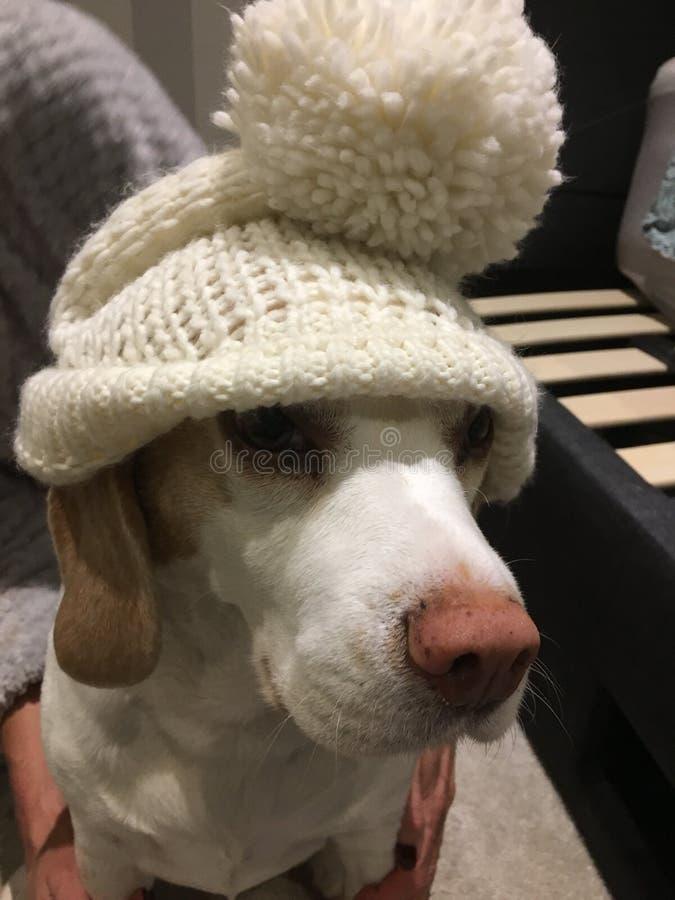 Beagle w ten sposób śliczny w jej kapeluszu obrazy stock
