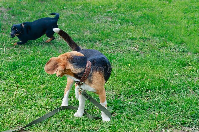 Beagle y pequeño perro que juegan en la hierba fotos de archivo