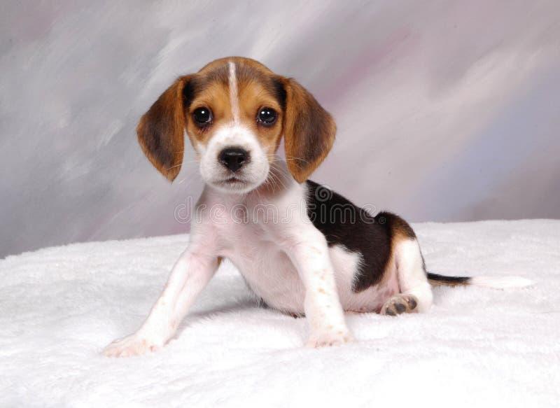 beagle2 στοκ φωτογραφίες με δικαίωμα ελεύθερης χρήσης