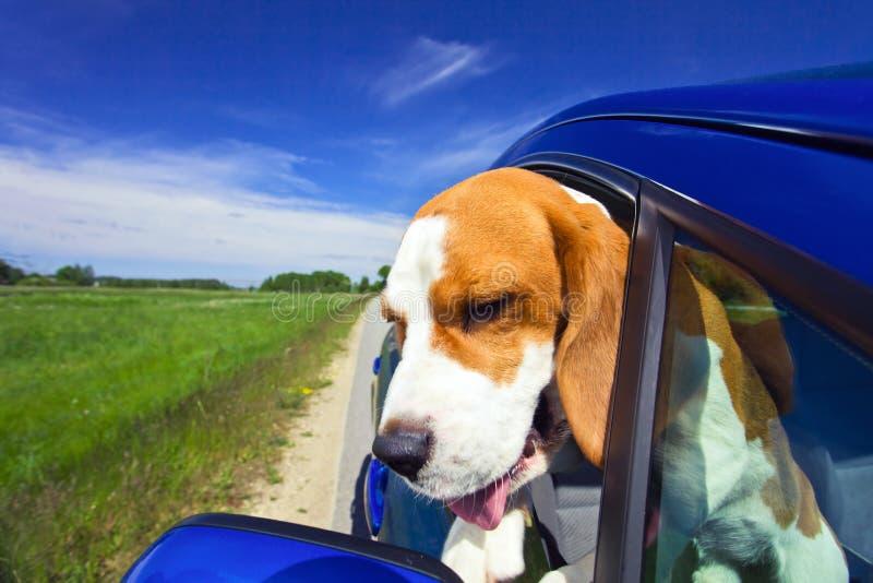 beaglebluebil arkivbild