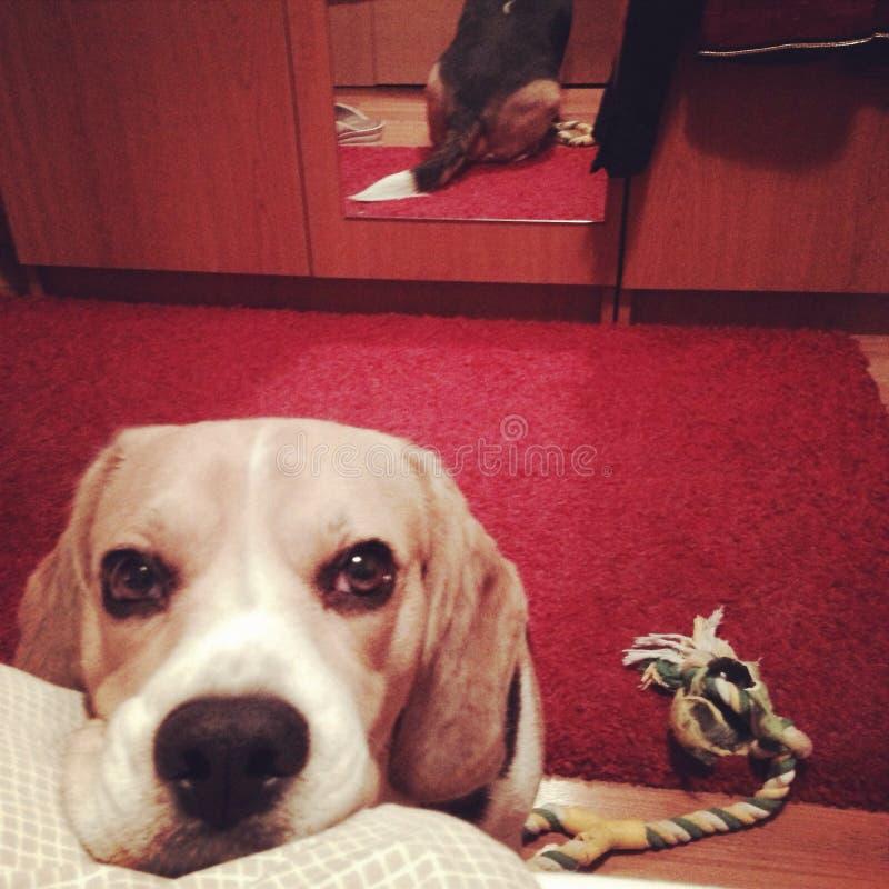 Beagleförälskelse arkivfoto