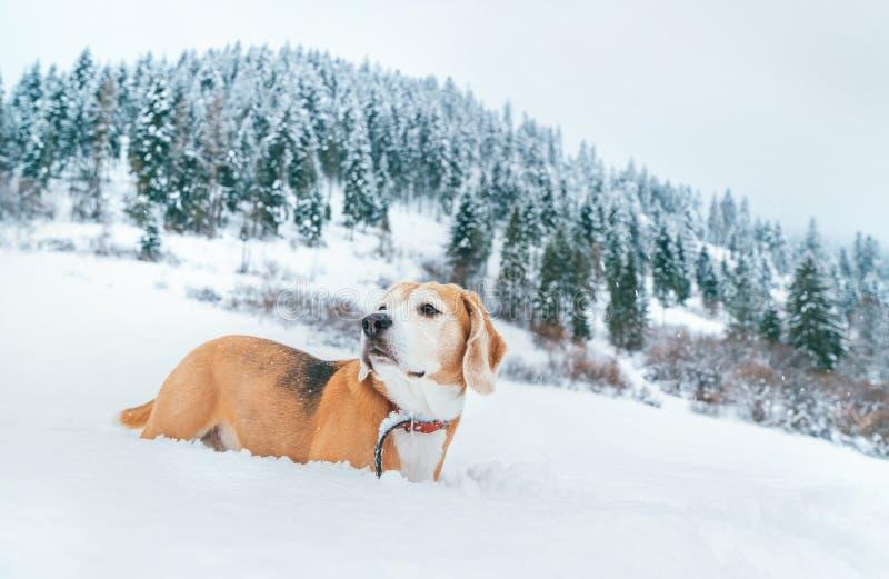 Beaglehund i djup snöstående på snöfältet på berget med prydlig skogbakgrund fotografering för bildbyråer