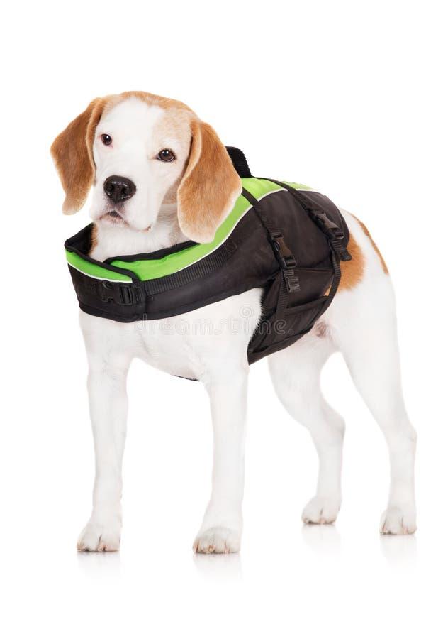 Beaglehund i en flytväst royaltyfri fotografi