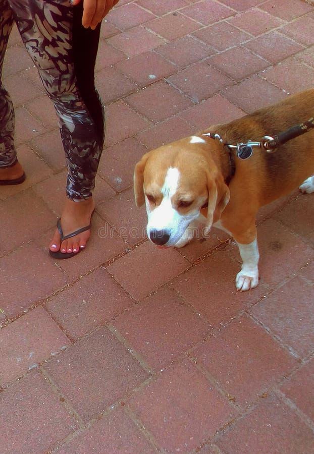 Beaglehund i gata royaltyfri bild
