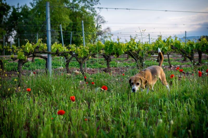 Beaglehund i lösa blommor för vår Vallmo bland vingård på solnedgången royaltyfri fotografi