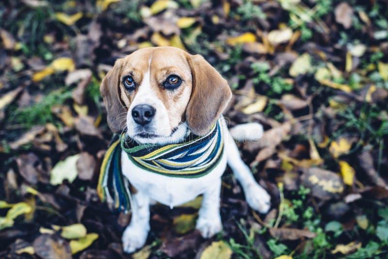 Download Beaglehund I Randigt Halsduksammanträde På Jordning Som Täckas Med Stupade Sidor I Autum Arkivfoto - Bild av säsongsbetonat, hund: 78730138