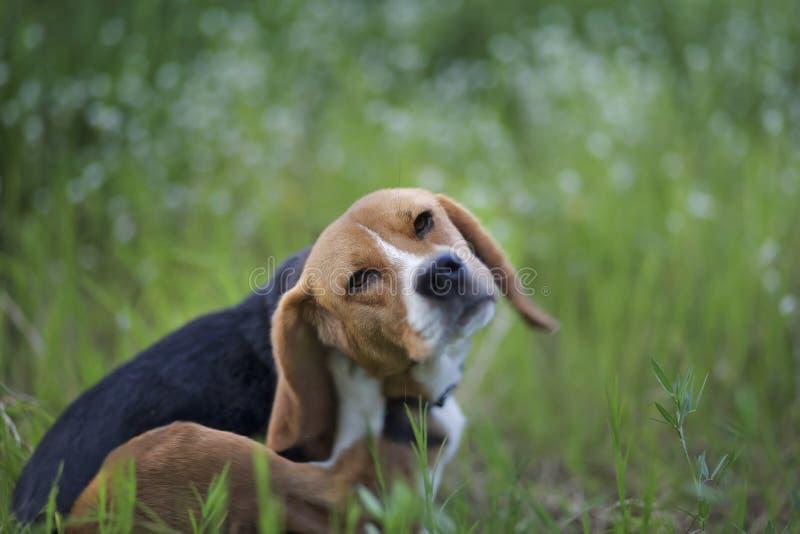 Beaglehund i wiildblommafältet arkivfoton