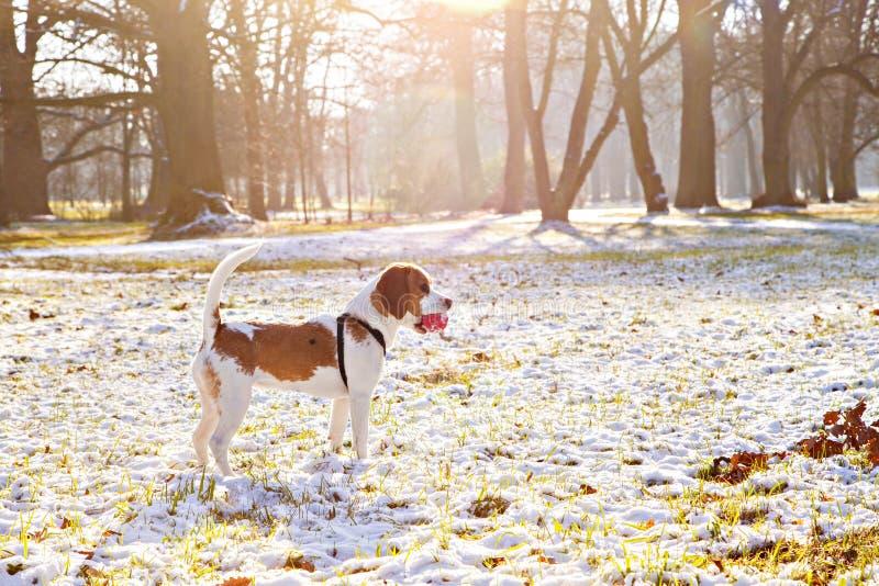 Beaglehund som är lycklig på ängen med en röd boll royaltyfri bild