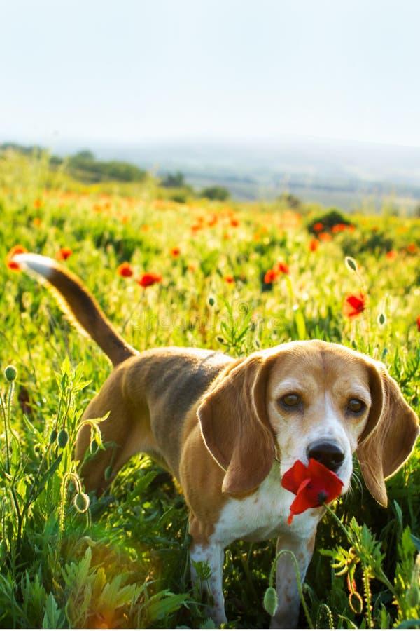Beaglehund som luktar vallmoblomman i lösa blommor för vår Vallmo bland gräs på solnedgången arkivfoto