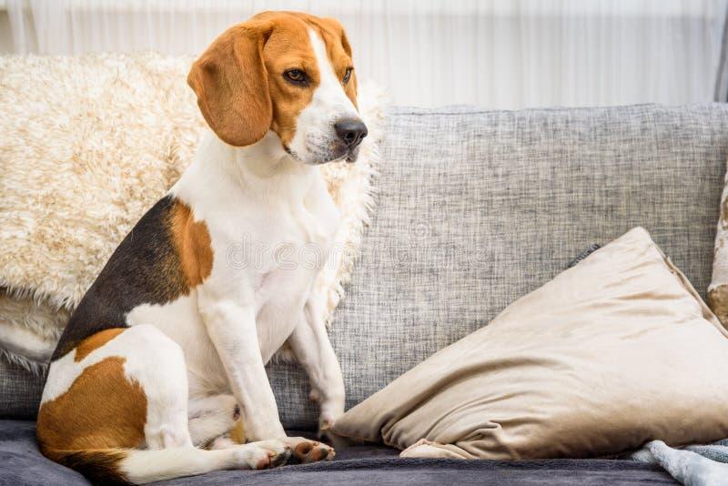 Beaglehund som sitter på en soffa royaltyfri foto