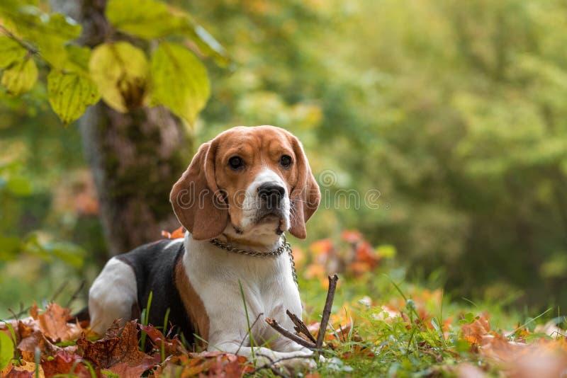 Beaglehund som spelar med trädet Banch höstsidor i bakgrund arkivfoton