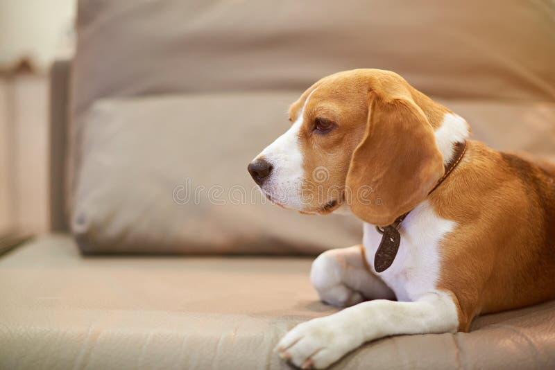 Beaglehunden bor i lägenhet arkivbild