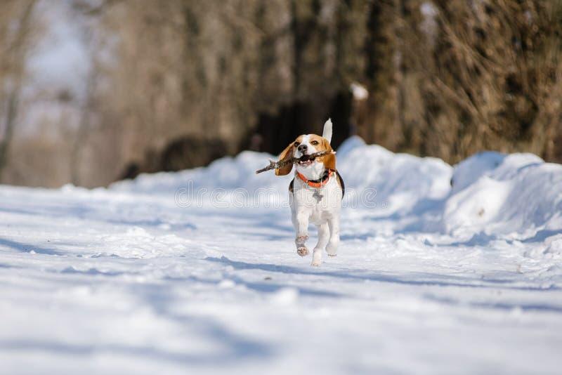 Beaglehunden kör och spelar i vinterskogen på en solig frostig dag royaltyfri bild