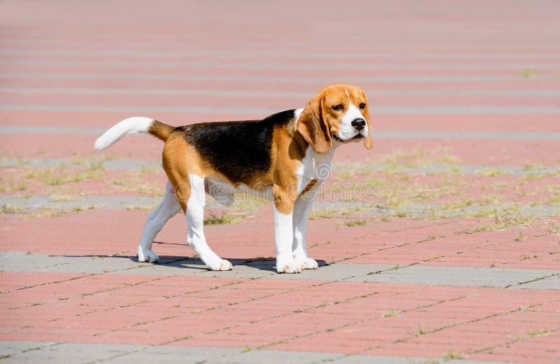 Beaglehunden ser åt sidan royaltyfri fotografi