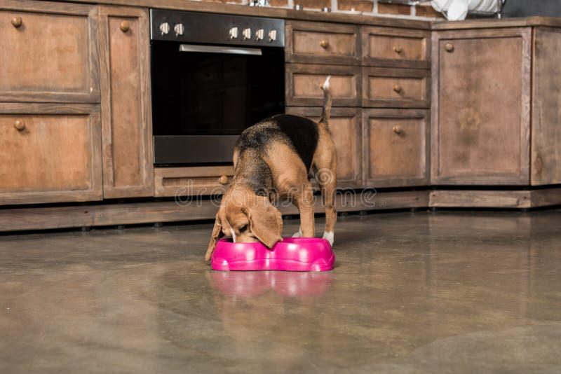 Beaglehunden som äter från rosa färger, bowlar i köket arkivbilder