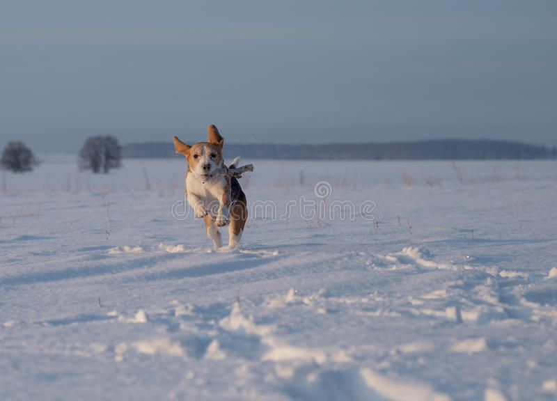 Beaglehundspring i snön fotografering för bildbyråer